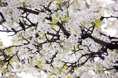 Blossoming spring branches with flowers Royalty Free Stock Photography