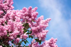 Blossoming spring bright pink lilac flowers in the garden, natural floral background. Blossoming spring bright pink lilac flowers in the garden against blue sky royalty free stock image