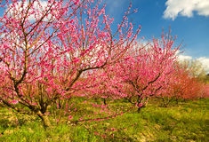 Blossoming spring garden Royalty Free Stock Photography