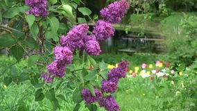 Blossoming spring lilac branch in wind stock video footage