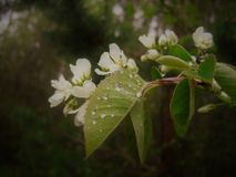 Blossoming, spring. Royalty Free Stock Photography