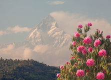 Blossoming Spring Rhododendrons Snow Peak Stock Photography