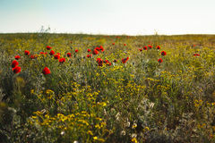 Blossoming spring steppe with wild flowers and red poppies Royalty Free Stock Photo