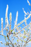 Blossoming spring tree Royalty Free Stock Image
