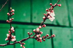 Blossoming spring tree Stock Image