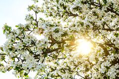 Blossoming spring tree with sun beam Stock Image