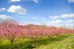 Blossoming spring trees Royalty Free Stock Images