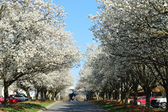 Blossoming spring trees. Scenic view of blossoming spring trees lining a street in Charlotte, North Carolina, U.S.A Royalty Free Stock Photos