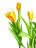 Blossoming spring yellow Tulips flower colorful is isolated on w Stock Images