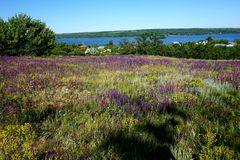 Blossoming steppe grass sage Sālvia officinālis on the field, overlooking the river royalty free stock photography