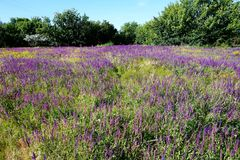Blossoming steppe grass sage Sālvia officinālis and other herbs on the field royalty free stock photography