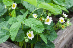 Blossoming strawberries Stock Photography
