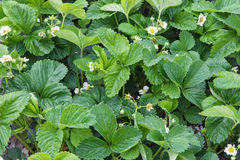 Blossoming strawberries Royalty Free Stock Photos