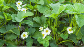 Blossoming strawberries Royalty Free Stock Photography