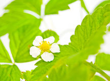 Blossoming strawberry. Royalty Free Stock Photography