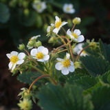 Blossoming strawberry with leaves Stock Photography