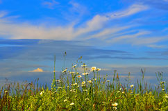 Blossoming summer meadow grass against the sky Royalty Free Stock Image
