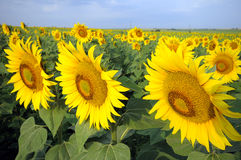 Blossoming sunflower. Stock Photography
