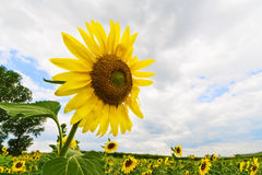 Blossoming sunflower on cloudy sky royalty free stock image
