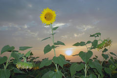 Blossoming sunflower in a field at sunset royalty free stock photo
