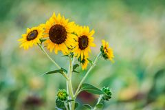 Blossoming sunflower flower on the farm field.  royalty free stock photos