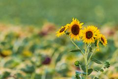 Blossoming sunflower flower on the farm field.  stock image