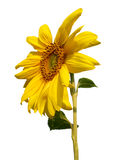 Blossoming sunflower on white background stock image