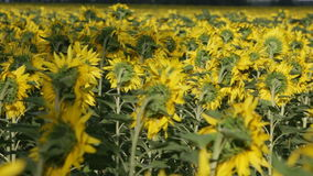 Blossoming sunflowers stock video