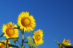 Blossoming sunflowers close-up against the  sky Royalty Free Stock Image