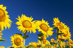 Blossoming sunflowers close-up against the sky Stock Images