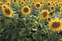 Blossoming sunflowers in the field, background Stock Image