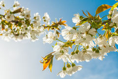 Blossoming sweet cherry branches illuminated by the evening sun. On blue sky background Stock Photography