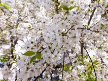Blossoming sweet cherry. Close up of blooming branch of sweet cherry tree royalty free stock photo