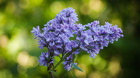 Flowers. Belarus. Syringa vulgaris bush, lilac flowers Stock Photos
