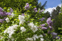 Blossoming Syringa vulgaris in Minsk a botanical garden, Belarus Royalty Free Stock Image