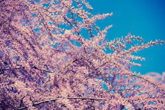 Blossoming Tamaricaceae branches Stock Image