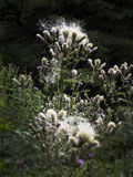 Blossoming thistles with flowers Stock Images