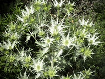 Blossoming thistles with white flowers Royalty Free Stock Images