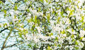Blossoming time lapse of Cherry trees. Beautiful Spring Nature background. Blossoming time lapse of Cherry trees. White Sakura blossom in sunny day outdoors Royalty Free Stock Photos