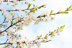 Blossoming time lapse of Cherry trees. Beautiful Spring Nature background. Blossoming time lapse of Cherry trees. Branch white Sakura blossom on sky background Stock Images