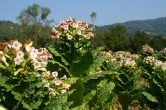 Blossoming tobacco royalty free stock photos