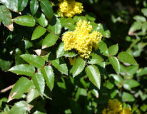 The blossoming trailing mahonia (Mahonia aquifolium (Pursh) of N Stock Photo