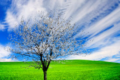 Blossoming tree Royalty Free Stock Images