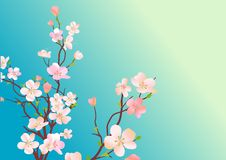 Blossoming tree. Branch of blossoming cherry tree on bly background Royalty Free Stock Images