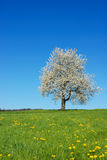 Blossoming tree Stock Images