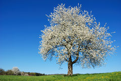 Blossoming tree Royalty Free Stock Image