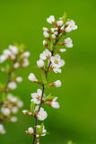 Blossoming tree. Spring blossoming tree on a background of green foliage Stock Photos