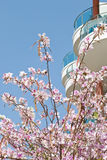 Blossoming tree. Beautiful blossoming tree on a background of blue sky royalty free stock photography