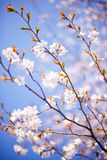 Blossoming tree Royalty Free Stock Photos