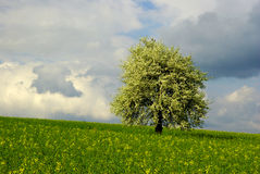 Blossoming tree. In bloom tree  in rape oil field and dramatic sky Royalty Free Stock Photos